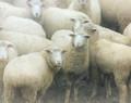 Happy Sheep, Rural Johnson Co, IA