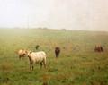 Cows in Spring Fog #2, Amana, IA