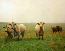 Cows in Spring Fog #3