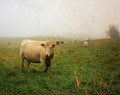 Cow in Spring Fog, Amana, IA