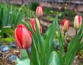 Tulips #11