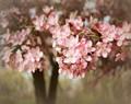 Spring Apple Blossom, Amana, IA