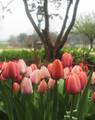 Tulips #5
