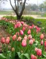 Tulips #12