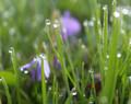 Violets After Spring Shower