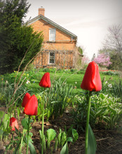 Tulips in Amana #1, Amana, IA