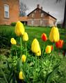 Tulips in Amana #2