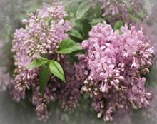 Lilacs in Soft Spring Haze