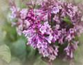 Lilacs in Soft Spring Haze #2