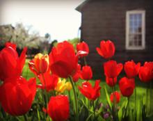 Tulips in Amana #7