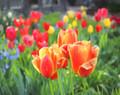 Tulips in Amana #8