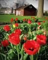 Tulips in Amana #1