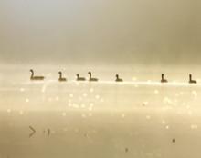 Geese on Amana Lily Lake, Amana, IA