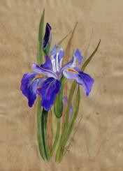 Montclair Iris