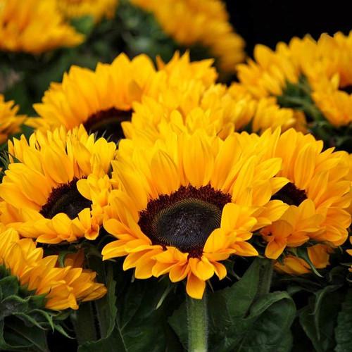 Sunflower Blossom Honey