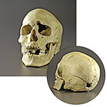 Plastic Male  Skull With Medium Caliber Gunshot Wound