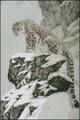 Mountain Snow Leopard