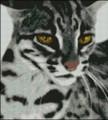 Asian Leopard
