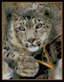 Striking Snow Leopard