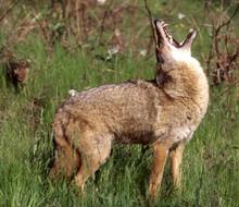 2019 coyote contest