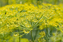 Fennel, a key ingredient in calming the tummy of gas and discomfort