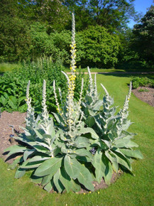 Mullein - an ingredient in this formula, has a long history of resolving ear aches.  In combination with St Johns Wort and Tamanu offering reduction in pain