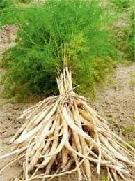 Shatavari & Root