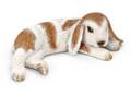 Dwarf Lop Bunny Lying