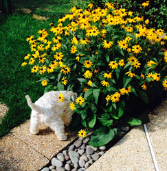 Josh digging the earth by Black Eyed Susan flowers.