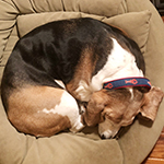 Lu. the Basset Houned snoozing with her lobster collar.