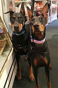 "Dobermans wearing 1 1/4"" wide crab dog collars."