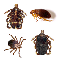 Preventing Fleas and Ticks on Dogs and Cats