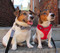 Ben is wearing a Houndstooth Bow-Tie Collar and Sassy is wearing a Houndstooth Flower Collar. The perfect pair!