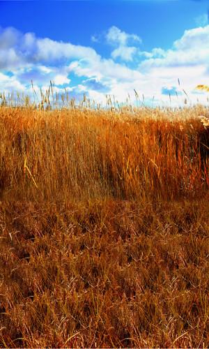 Field of Grain Backdrop