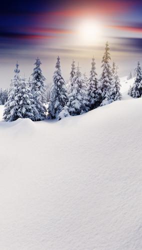 Sunset Snow Powdered Trees Backdrop