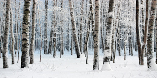 Snow Covered Aspen Wide Format