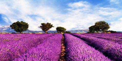 Lavender Fields Wide Format