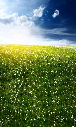 Dandelion Field Backdrop
