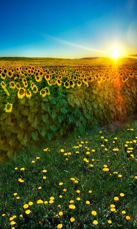 Clear Floor Mats >> Sunflower Fields Backdrop | Photo Pie