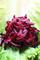 PureLiving Fermented Beets / Organic, Kosher, Non-GMO, Probiotic, Raw