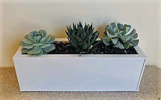 3 succulant plants in a white container