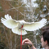 The Aviator Harness Petite Parrots