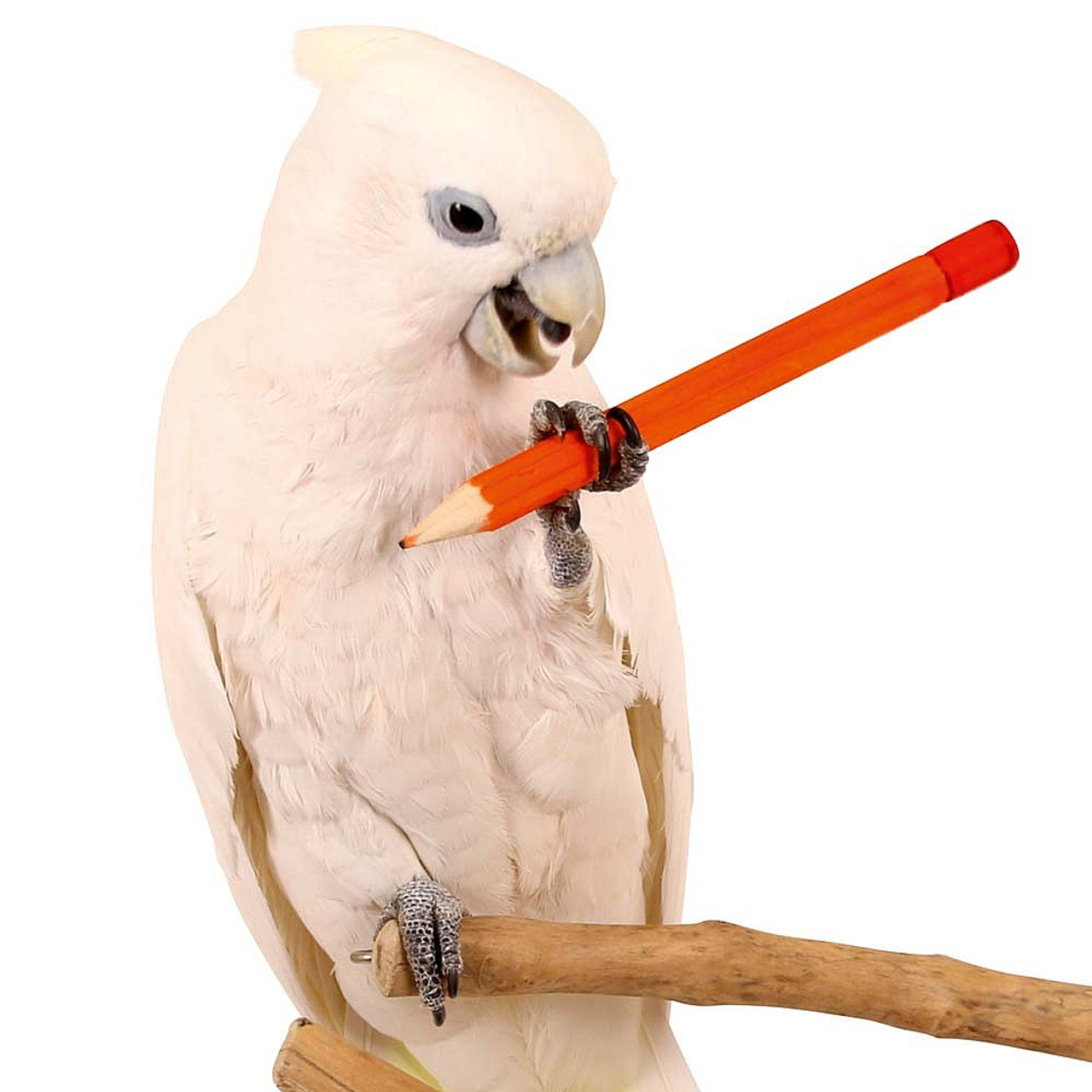 Small Toy Parrots : Buy parrot pencil foot toy small from essentials