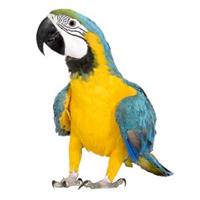 Macaw Large