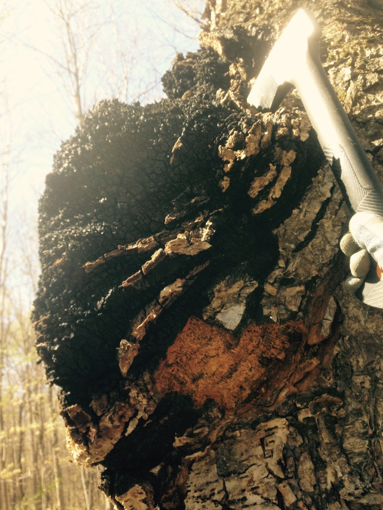 Everything you should know about Wild Canadian Chaga