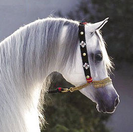 Native Arabian Horse Show Halter With Lead Rope Flower