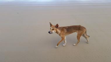 Fraser Island Australian Dingo