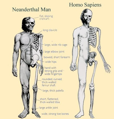 relationship between neanderthal and anatomically modern humans
