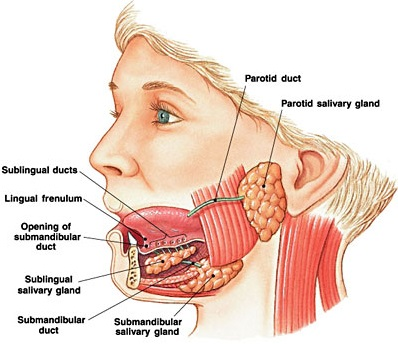This is a cross sectional rendering of human salivary glands