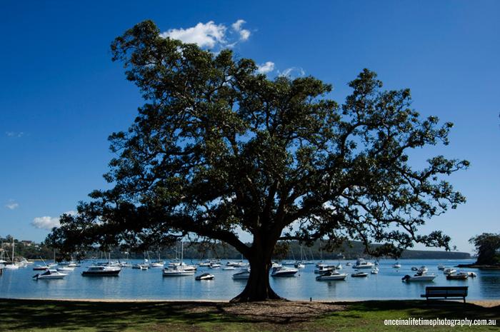 balmoral-beach-tree.jpg